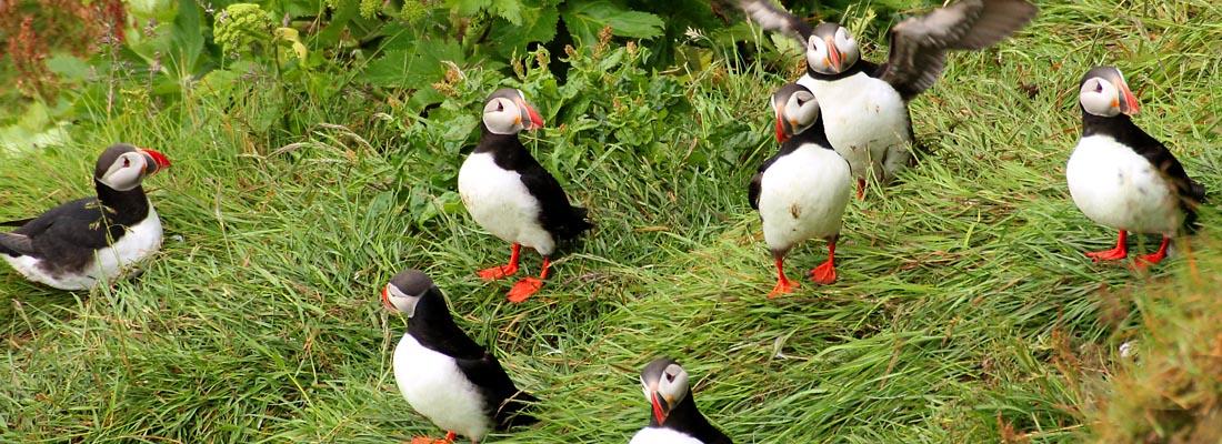 Island: Papageitaucher
