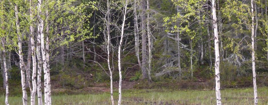 Knoller, Bär in Kuusamo 3 klein