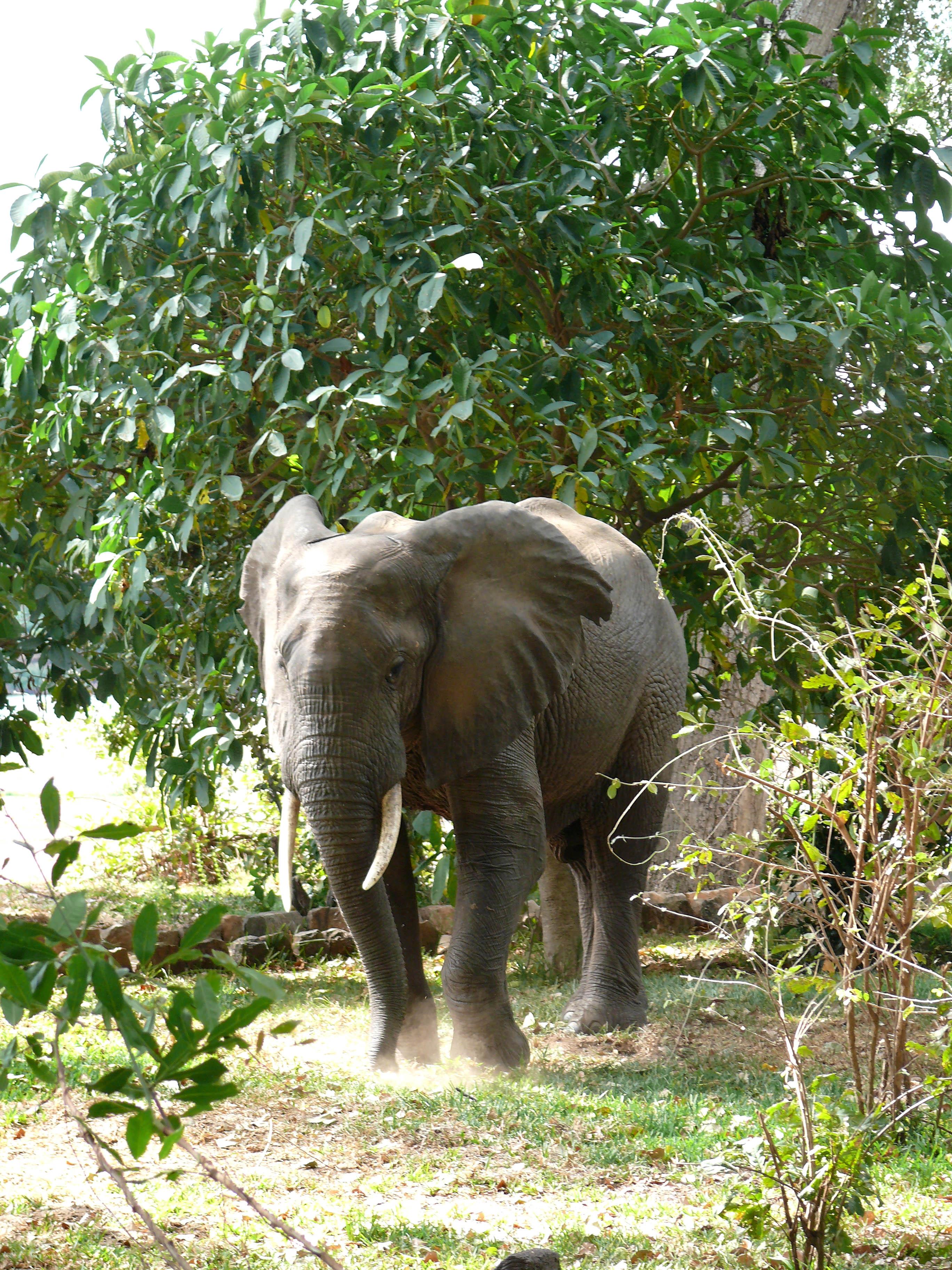 Knoller, Elefant Ben in der Lugenda Lodge tz