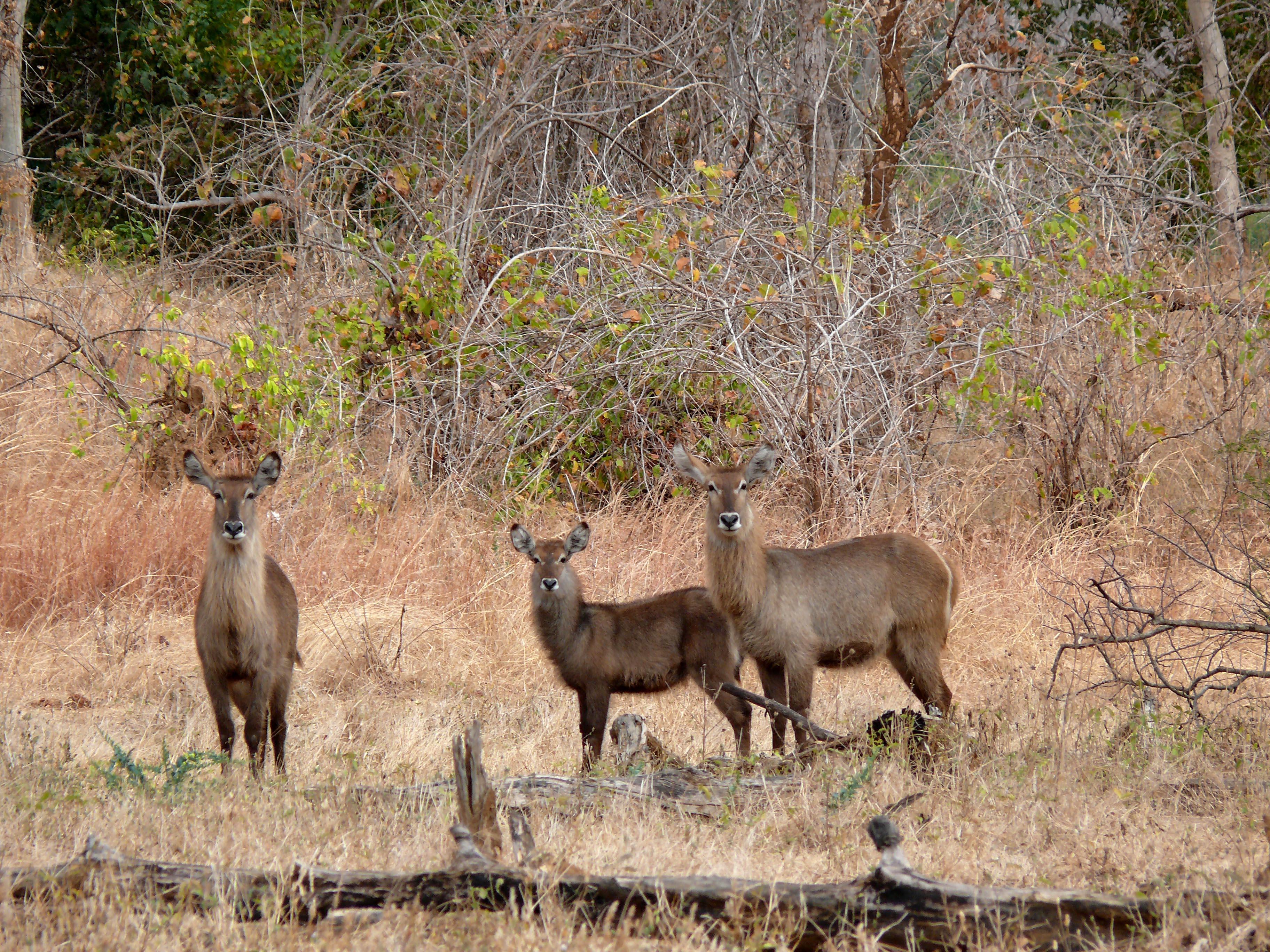 Wasserböcke im Lugenda Reserve tz. jpg