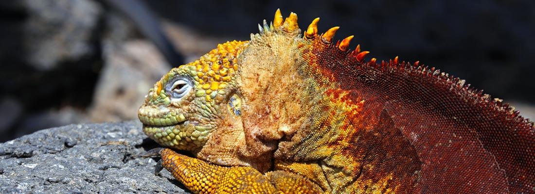 Galapagos: Landleguan